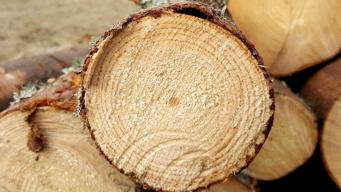 Het Douglas hout is afkomstig van de Douglasspar